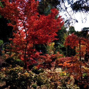 Japan. Ahorn 3