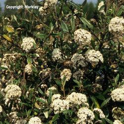 Blüten der Kornelkirsche